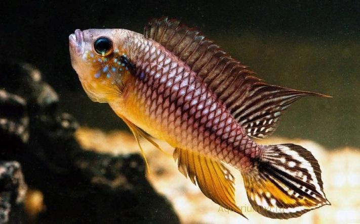 Апистограммы Агассица: яркие, красивые аквариумные рыбки
