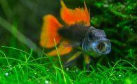 Рыбка апистограмма какаду