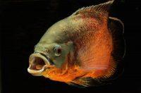 На фото рыбка астронотус