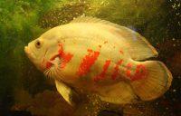 Рыбка астронотус содержание и уход в аквариуме