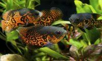 Аквариумная рыбка астронотус чем кормить и сколько
