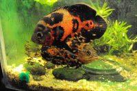 Рыбка астронотус тигровый