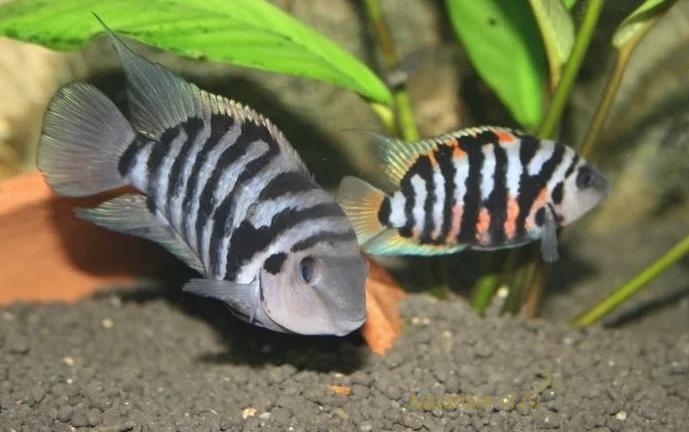 аквариумные рыбки чернополосые цихлазомы