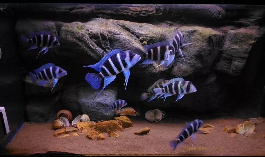 Цифотиляпия Фронтоза в аквариуме