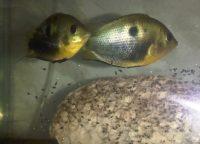 Etroplus maculatus аквариумная рыбка