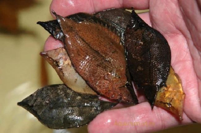 Размножение: Monocirrhus polyacanthus