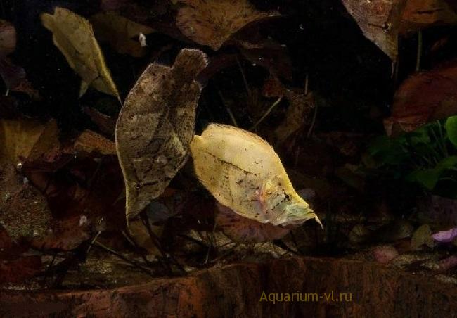 Обзор аквариумной рыбки: Рыба-лист