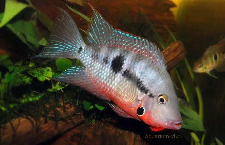 цихлазома меека совместимость в аквариуме