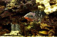 цихлазома меека совместимость с другими рыбами
