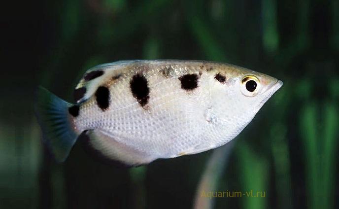 Брызгун, рыба-снайпер