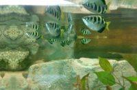 Аквариумные рыбки Брызгун полосатый
