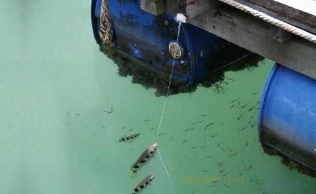 Обзор аквариумной рыбки Брызгун полосатый