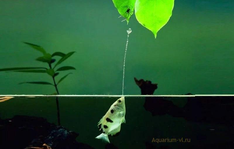 Toxotes jaculator Русское название: Брызгун, рыба-снайпер