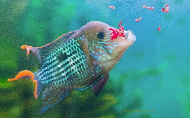 Замороженный корм «Мотыль крупный» для рыбок