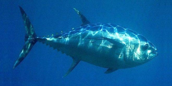 Рыба голубой тунец