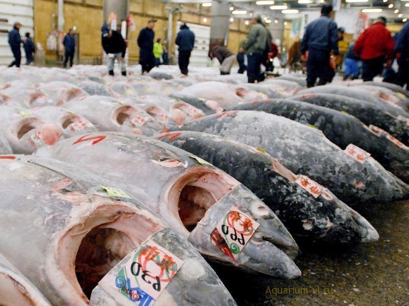 Голубой тунец находится под угрозой исчезновени
