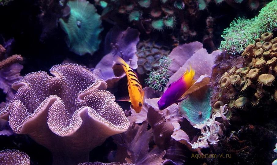 Gramma loreto в аквариуме
