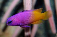 Морская рыбка Грамма королевская