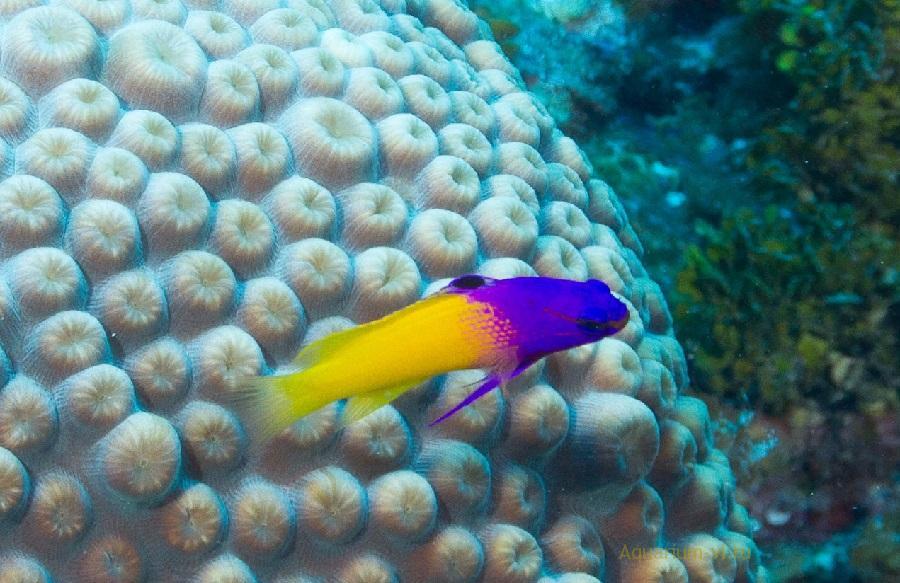 Граммы королевские морские рыбки