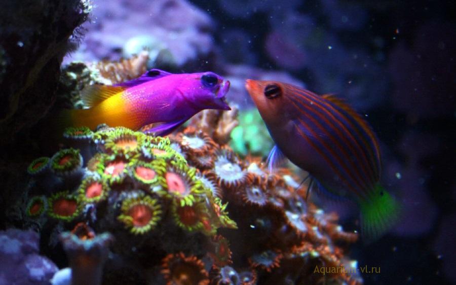 Грамма королевская в морском аквариуме