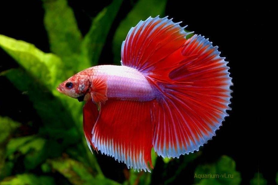 Бойцовая аквариумная рыбка петушок