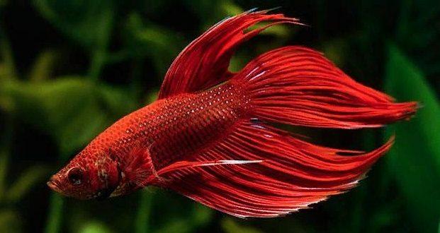 Бойцовая рыбка петушок