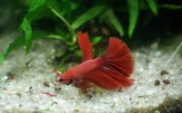 Бойцовая рыбка петушок уход и содержание