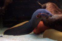 Кормление в аквариуме Мастацембелуса краснополосого