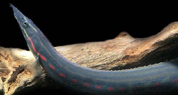 Мастацембелус краснополосый «огненный»