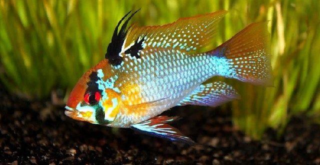Бабочка-хромис Рамиреза аквариумная рыбка