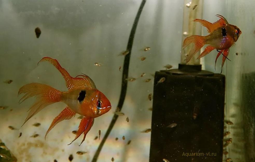Разведение Бабочки Рамирези в аквариуме