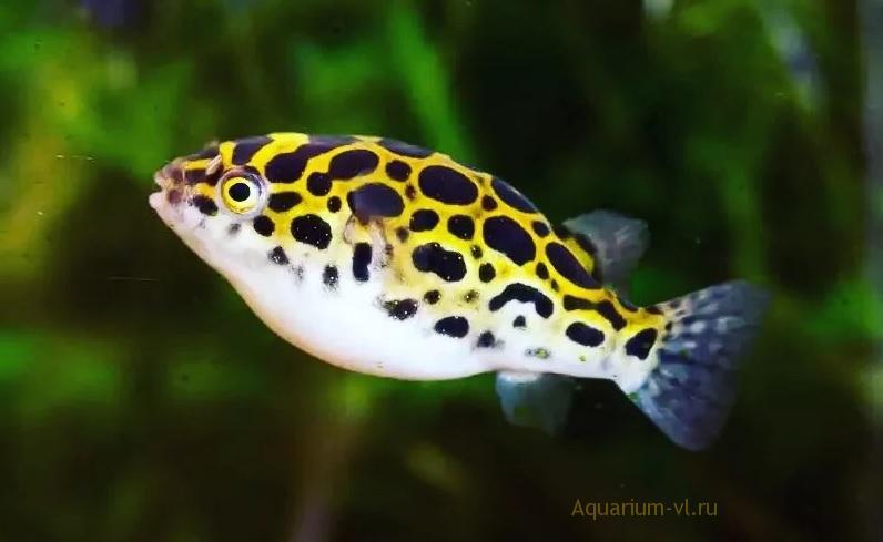 Рыбка тетраодон