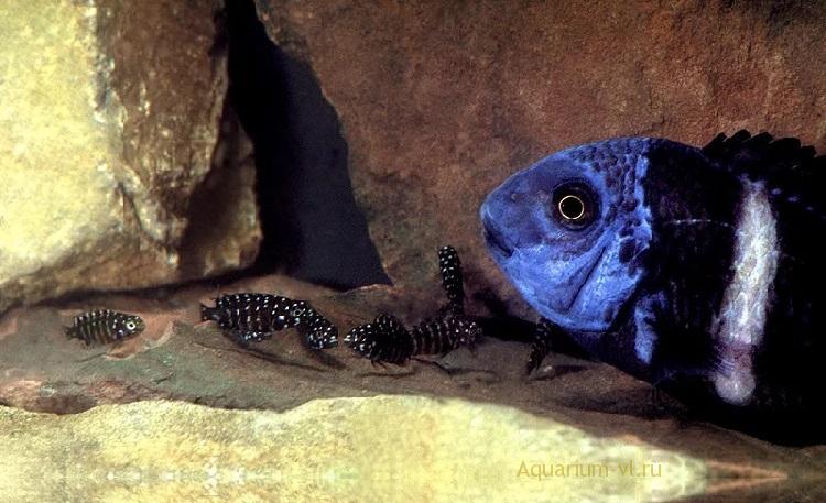 Звёздчатые трофеусы разведение в аквариуме
