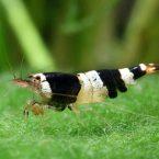 размножение креветок в аквариуме