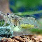 креветки вишня содержание в аквариуме