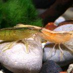 креветки в общем аквариуме