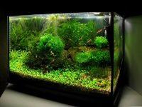 Креветки в аквариуме с рыбками