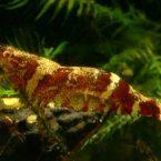 креветки в маленьком аквариуме