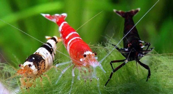 Креветки пресноводного аквариума