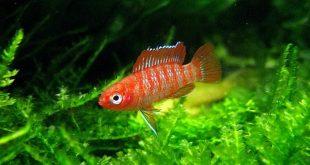 аквариумная рыбка Дарио красный